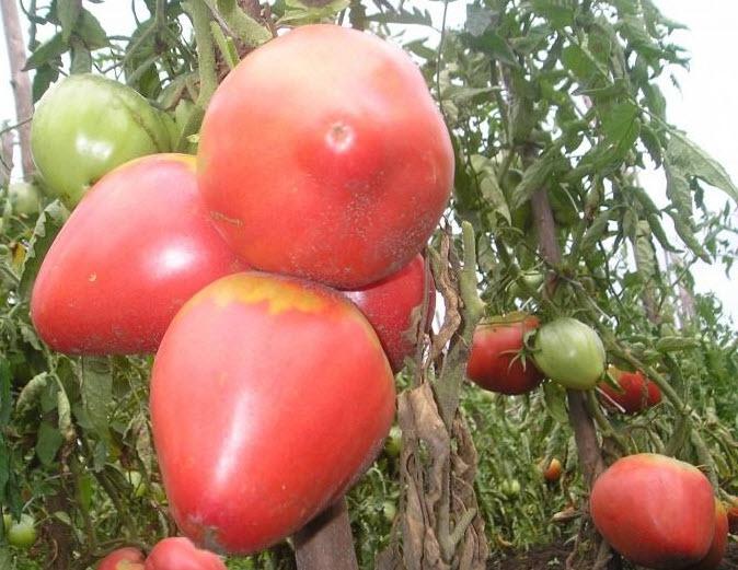 Помидоры батяня выращивание 55