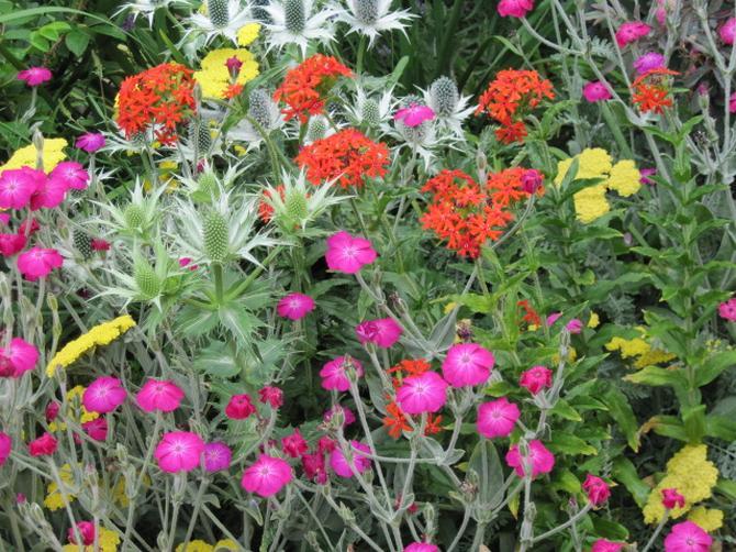 Выращивание из семян лихниса 668