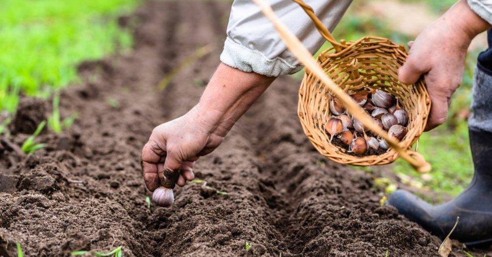Правильное выращивание чеснока 78